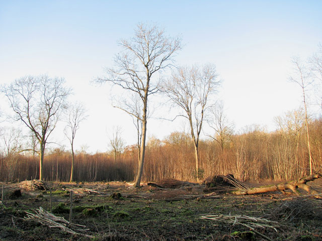 Lower Wood Nature Reserve - recent coppicing