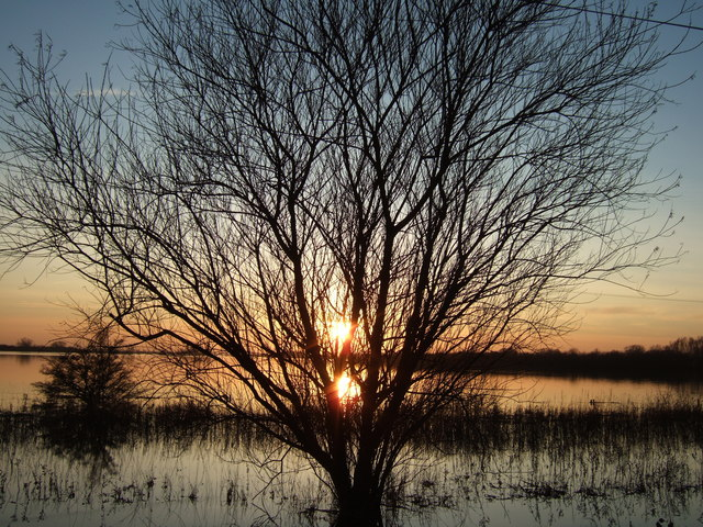 Willow - The Ouse Washes at Sutton Gault