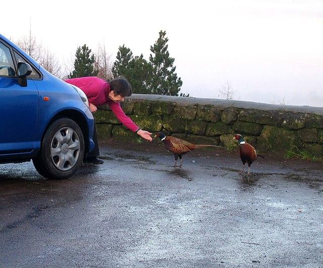 Pheasants at Claybank car park