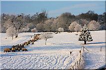 TL8162 : Sheep in Ickworth Park by Bob Jones