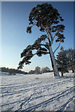 TL8162 : Snow-covered tree in Ickworth Park by Bob Jones