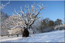 TL8063 : Old tree in Ickworth Park by Bob Jones