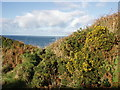 SW3935 : Gorse above Portheras Cove by Sheila Russell