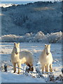 NG8633 : White ponies, near Achmore by sylvia duckworth