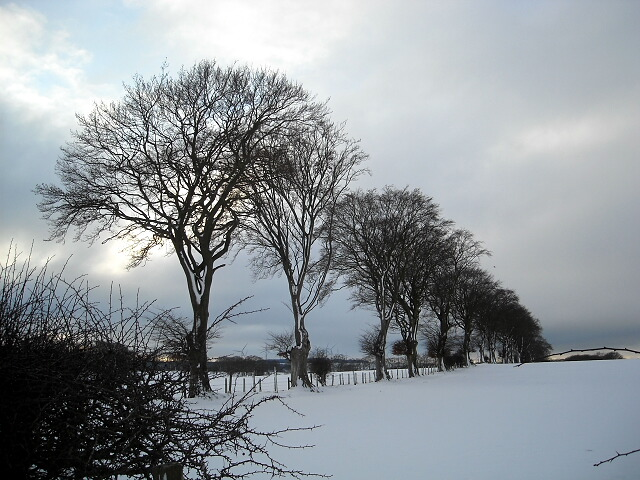Trees in Snow Covered Fields
