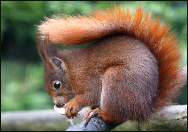Red Squirrel at the British Wildlife Centre