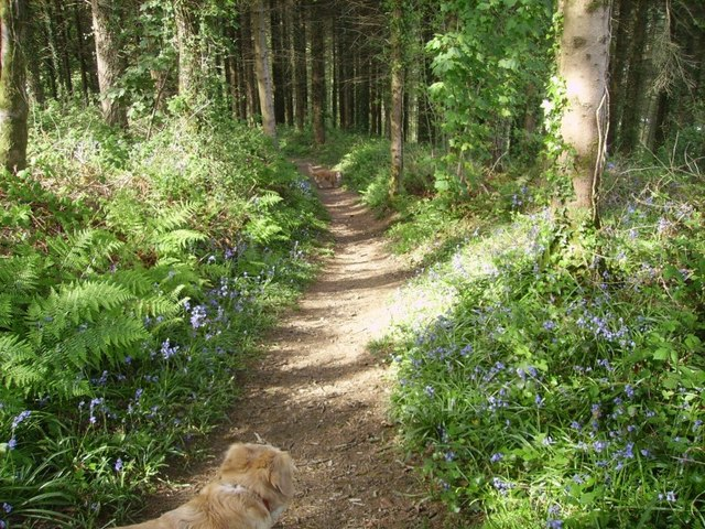 Bluebell time in the woods above Grove Colliery