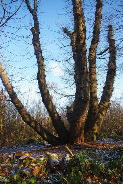 Ancient Coppice in Norsey Wood