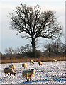 TM3998 : Sheep in frozen pasture by Evelyn Simak