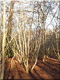 TQ0084 : Hazel coppice ready for cutting, Black Park by David Hawgood
