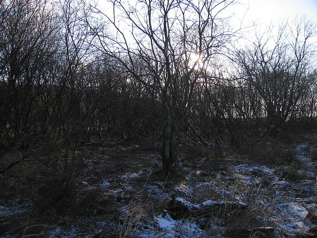 Shrubs in the bog, Cors Caron Nature Reserve