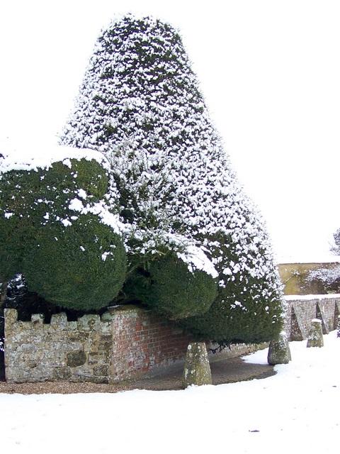 Yew tree, Croucheston