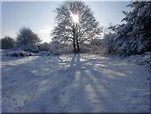 TQ2996 : Sunlit tree in Trent Park near the Oakwood entrance by Christine Matthews