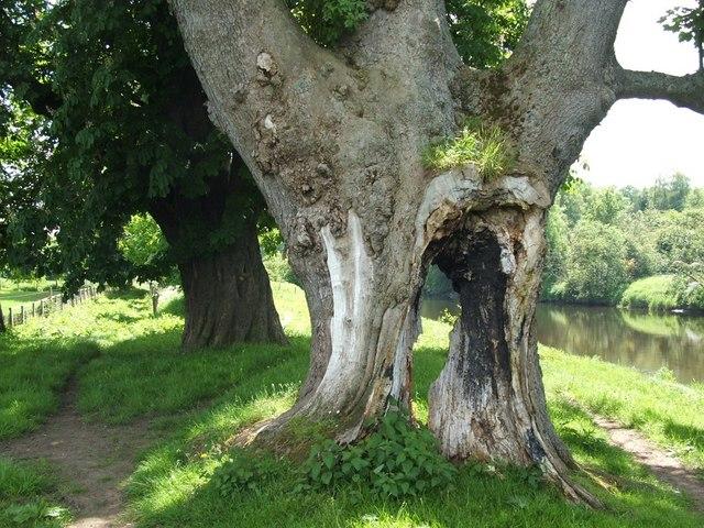 Tree beside the Clyde Walkway