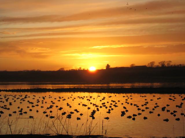 Newburgh: Eider ducks at sunset