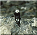 NN2070 : Snow Bunting by Russel Wills