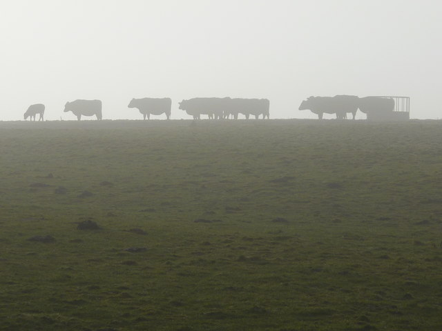 Cows in silhouette