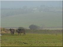 SK3069 : Derbyshire buffalo by Peter Barr