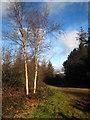 SX0049 : Silver birches in Shepherdshill Wood by Rod Allday