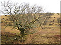 SX1878 : Moorland tree on a field boundary by Rod Allday