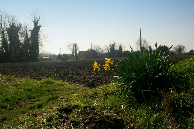 Daffodils, Butter's Hall Lane