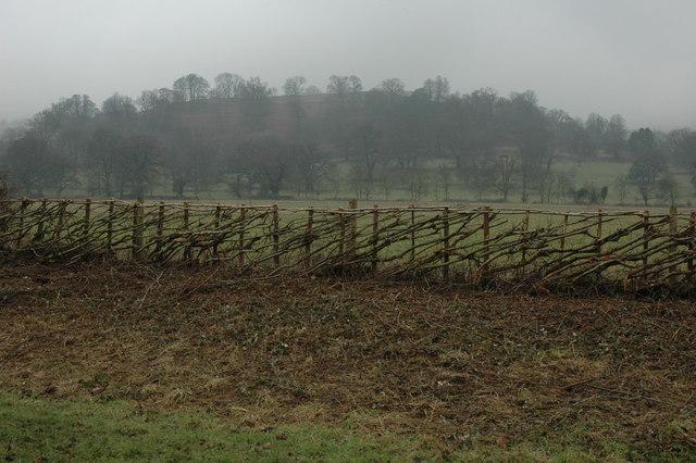 Laid hedge at Elmley Castle