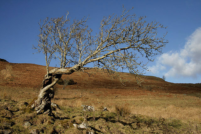 A twisted tree on Craigneston Hill