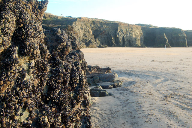 Mussels on the rocks, Gwithian beach