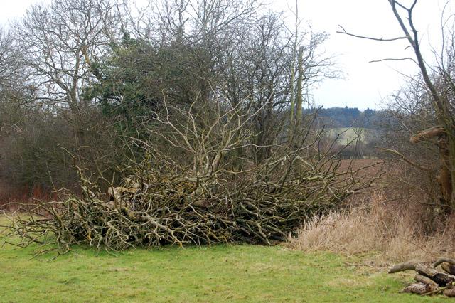 Felled tree in a hedgerow south of Flecknoe