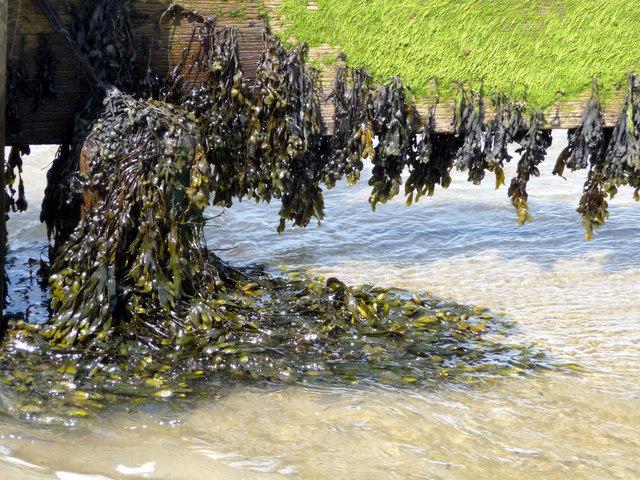 Seaweed on Groyne, Shanklin, Isle of Wight