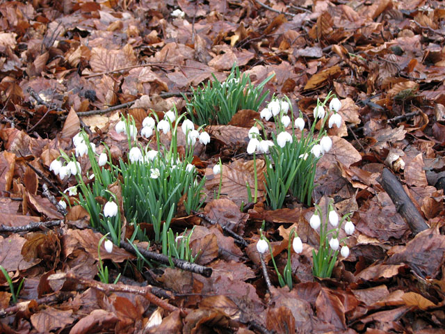 Snowdrops in woodland east of the Dower House