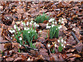 TL9785 : Snowdrops in woodland east of the Dower House by Evelyn Simak