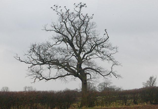 Rooks in a tree south of Flecknoe