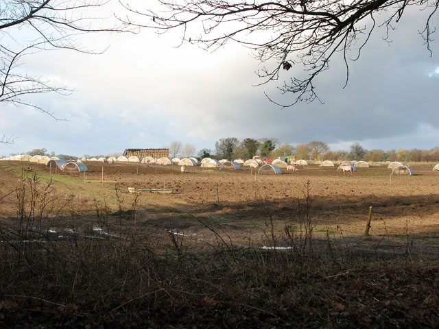 Free-range pigs north of Ten Acre Plantation