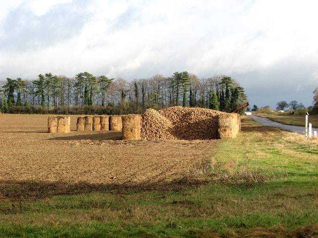 Sugar beet clamp in field beside the road to North Lopham
