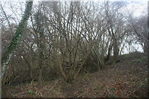 TQ4540 : Coppiced trees by the Sussex Border Path by N Chadwick