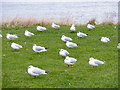 NZ3769 : Black headed gulls, on the cliffs above the Haven, at Tynemouth by Roger Cornfoot
