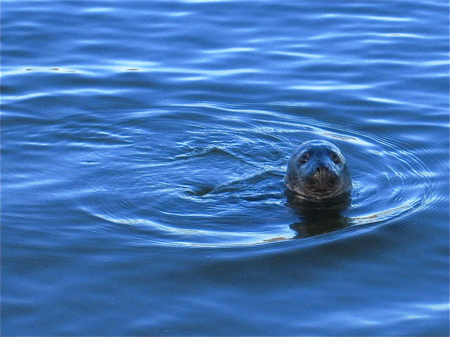 Newburgh: young common seal