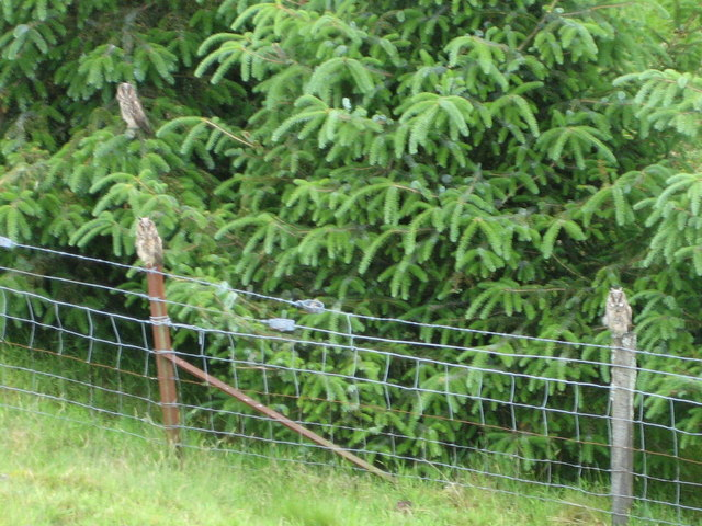 Young Owls resting during daytime at Backhill Farm