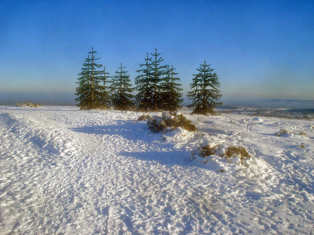 Stand of monkey puzzle trees
