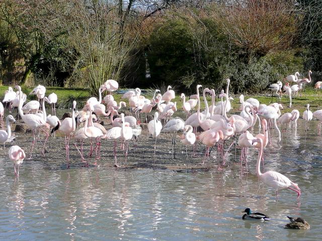 Greater Flamingos at Slimbridge WWT