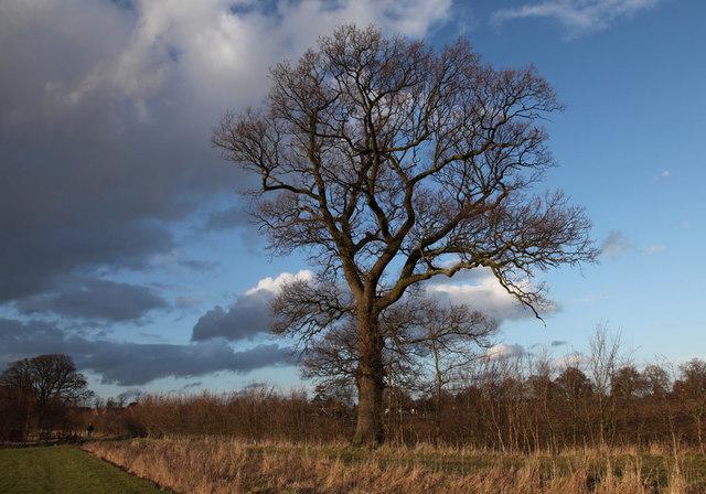 Oak tree, Leverstock Green