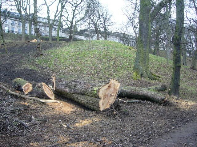 Diseased trees in London Road Gardens