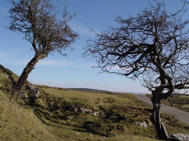 Gnarled Trees Above Hodder Valley