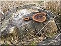 NO1701 : Gloeophyllum sepiarium on a stump at Portmoak Moss by M J Richardson