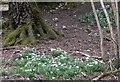 SU8516 : Snowdrops in Newfarm Plantation by Shazz