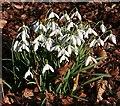 NJ1663 : Snowdrops (Galanthus nivalis) by Anne Burgess