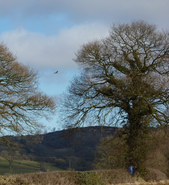 Trees at field edge, with buzzard