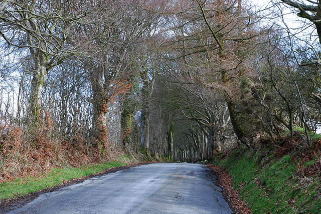 Avenue of birch trees near Penlan farm