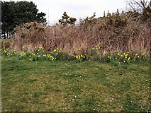 TQ4002 : Daffodils in Chatsworth Park by Paul Gillett